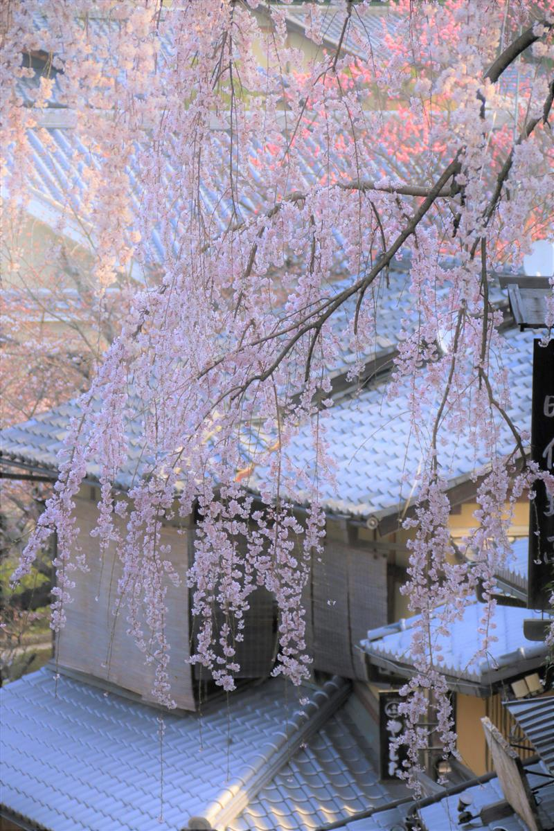 桜情報 清水寺から丸山公園に至るルート